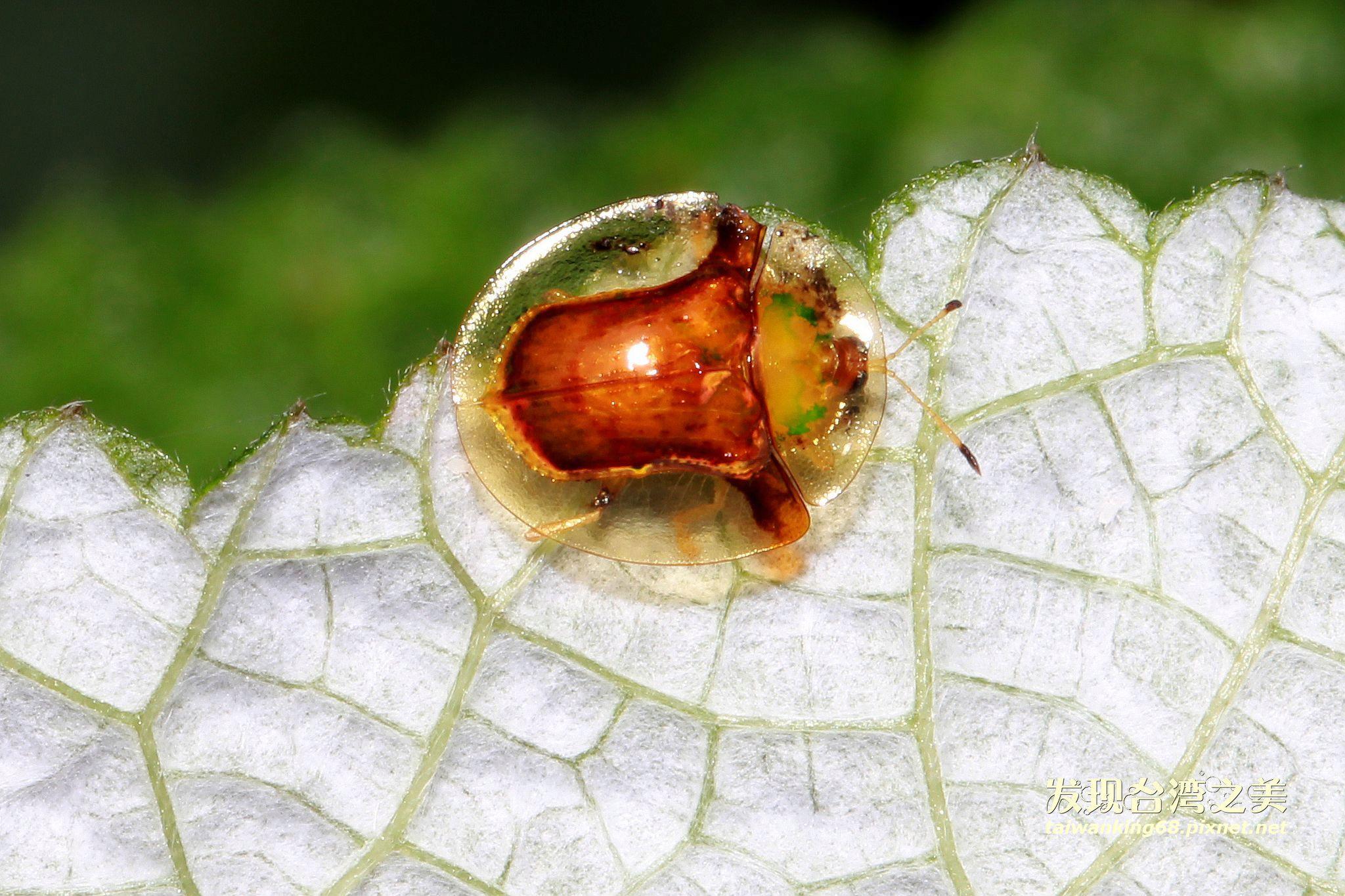 金盾龜金花蟲