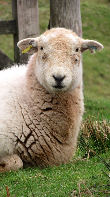 Sheep in Wotter