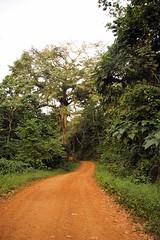 Kapok tree, Bom-Bom Island Resort, Principe Island,