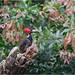 Pale-billed Woodpecker (Campephilus guatemalensis) by Jake M. Scott