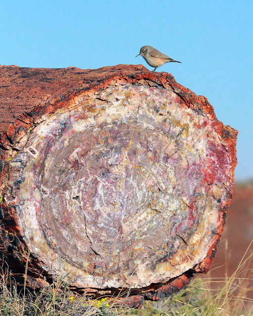 IMG_3350 Canyon Wren on Petrified Wood