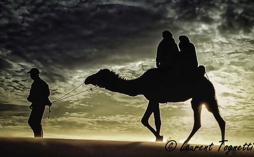 Dromadaire pour les touristes (Merzouga au Maroc)
