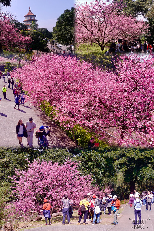 天元宮三色櫻花林