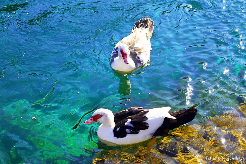 Две утки, плавающие у берега