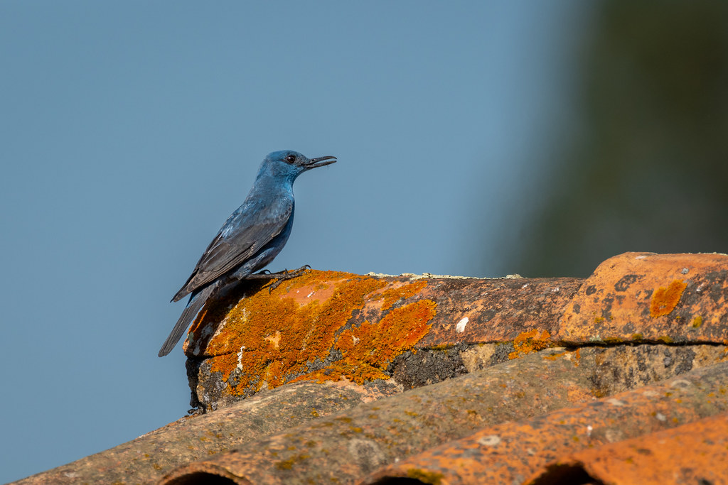 Male Blue Rock Thrush - Melro-azul - Monticola solitarius