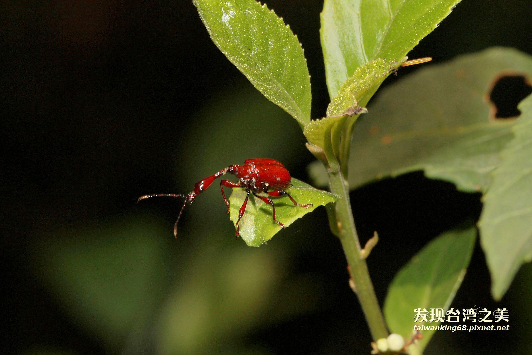 棕長頸捲葉象鼻蟲 (雄蟲)