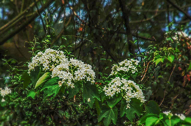 笠頂山油桐花 8