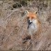 Red Fox by Full Moon Images