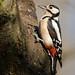 Great Spotted Woodpecker - Buntspecht by rengawfalo