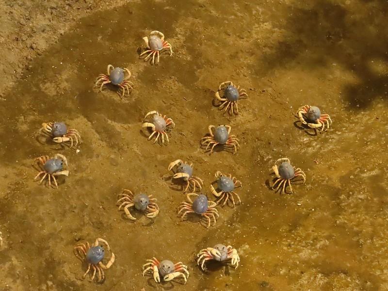 將和尚蟹放大,濕地珍寶一清二楚。攝影:廖靜蕙