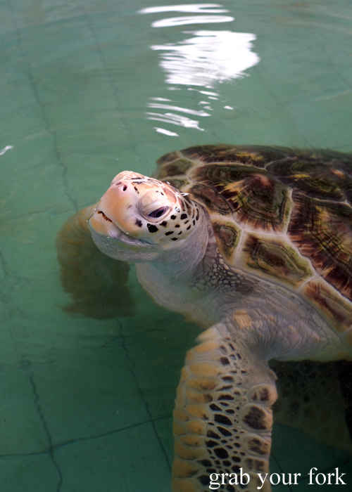Old sea turtle at the Sea Turtle Conservation Centre Naval Base in Khao Lak, Thailand