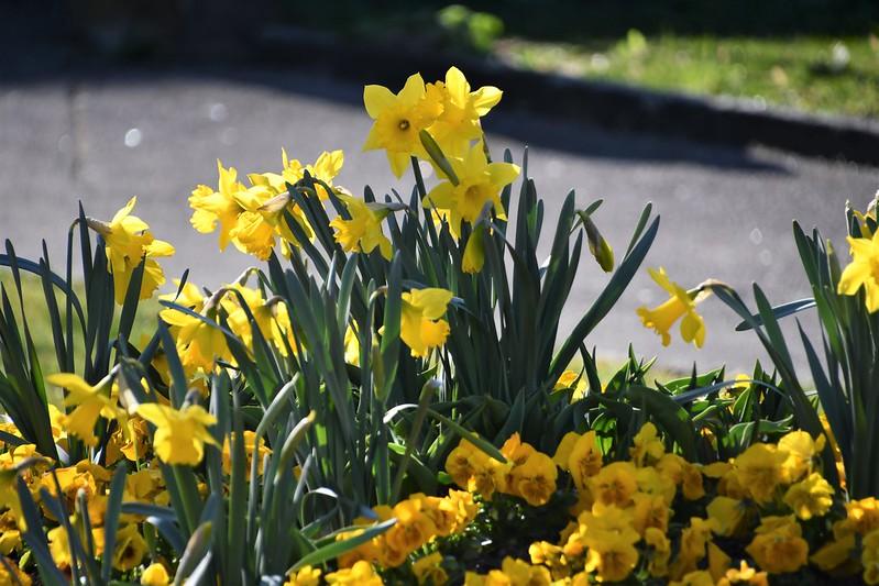 Daffodils 26.03.2019