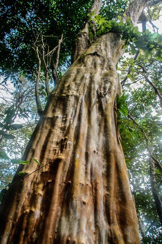 四社山巨木(九芎)