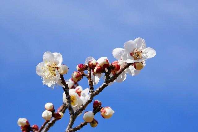 Ume_(2019_02_24)_1_resized_1 青空を背景に白色の梅の花を撮影した写真。 幾つもの可愛らしい蕾と共に梅の花が可憐に開いている。