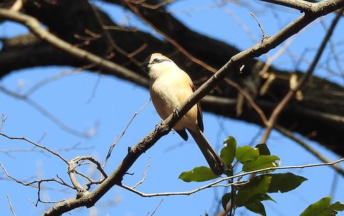 石神井公園の野鳥~モズの場所