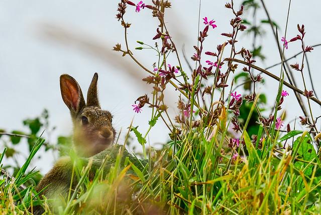 Wild Rabbit, Nikon D800E, AF-S Nikkor 70-200mm f/4G ED VR