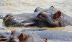 Hippo (Hippopotamus amphibius) resting on the shores of Lake St Lucia ...