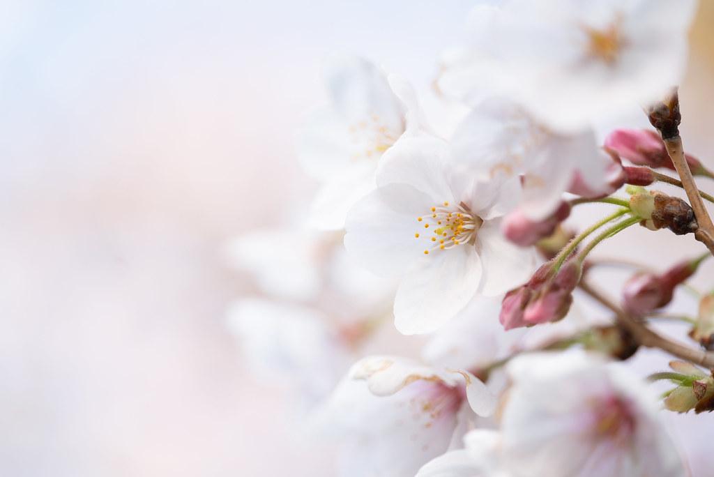 Sakura-2019_03