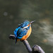 Kingfisher 190324026.jpg