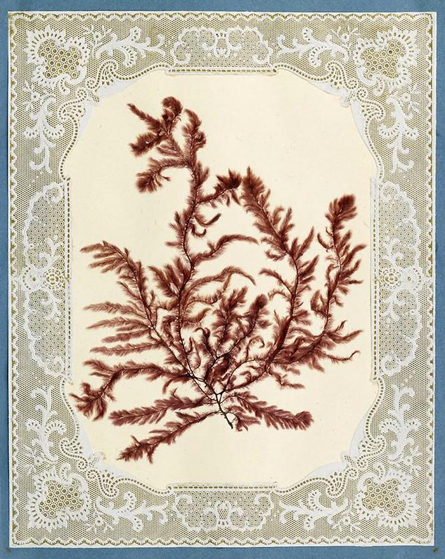 005-Album de algas marinas-1848- Brooklyn Museum Library