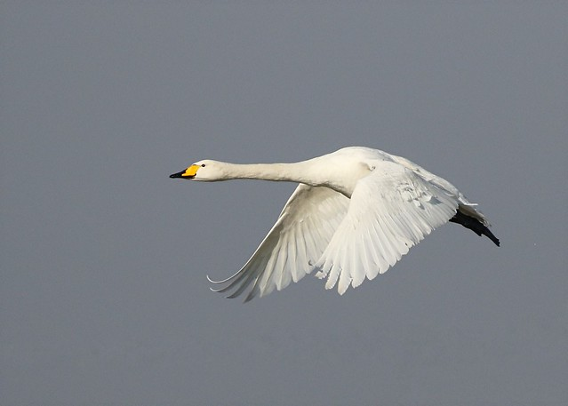 Whooper swan - Gibraltar Point Lincolnshire.