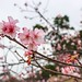 新竹/麗池櫻花