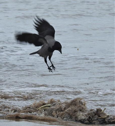 Hooded Crow Landing Near Seal Carcass