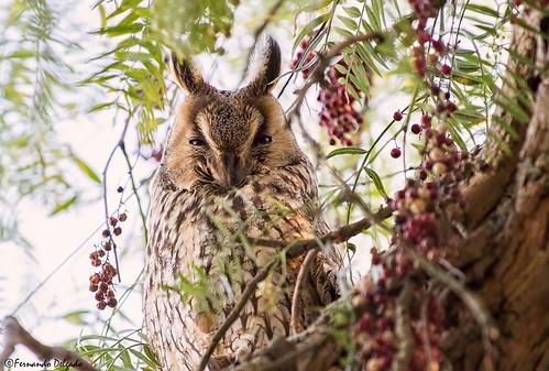 Bufo pequeno (Asio otus) |  Long-eared Owl | Búho Chico | Hibou moyen-duc | Gufo comune