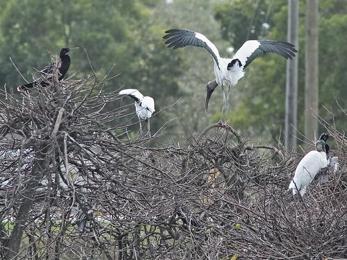Wood Stork landing 20190212