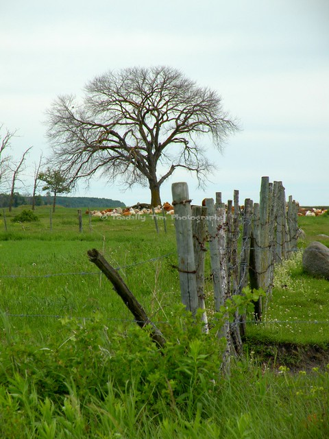 050 Where The Cows, Nikon COOLPIX P80