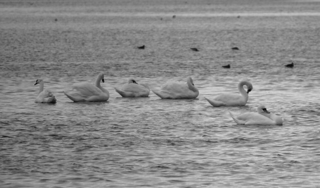 Swans, Poole Harbour