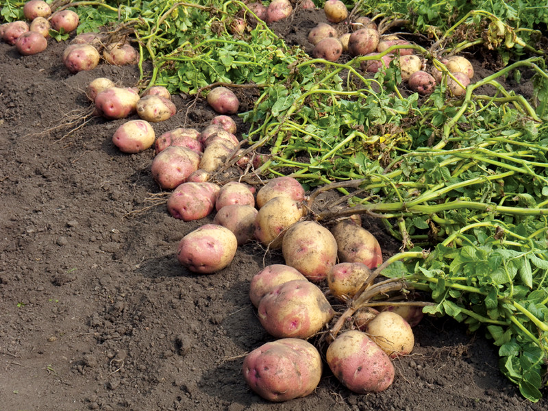 Potato harvest1