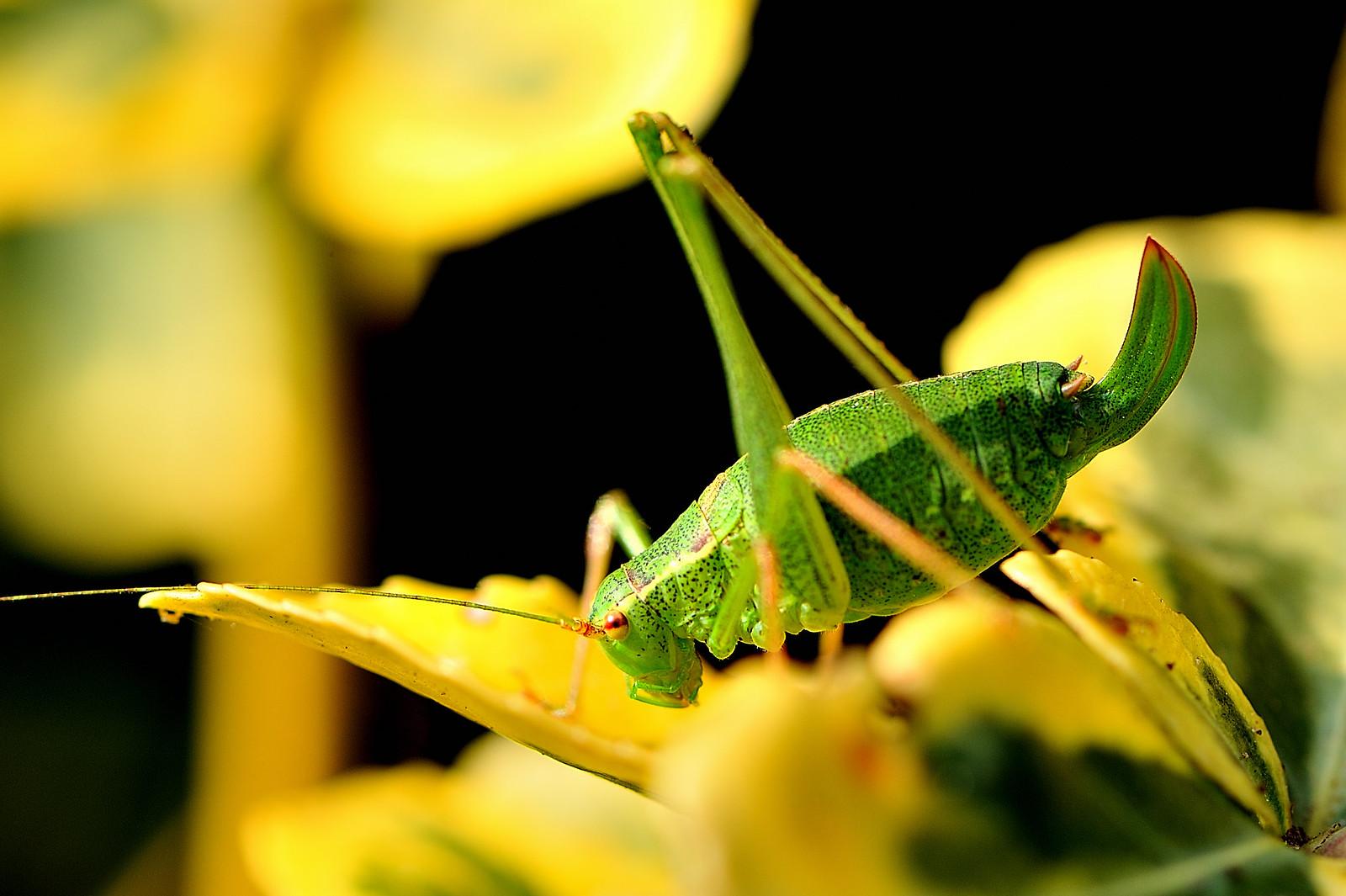 [Leptophyes punctatissima] Est-ce Tettigonia viridissima ? 45518963895_74ee2bd98a_h