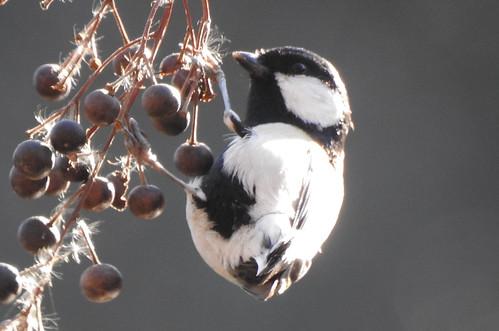 石神井公園の野鳥~シジュウカラの場所