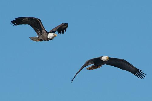 American Bald Eagle_1NG6191