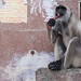 A Monkey's Morning Ablutions