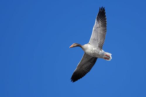 Graugans - Grey Goose - Anser Anser - 5