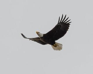 Moraine Eagle