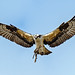 Osprey #122 by lennycarl08