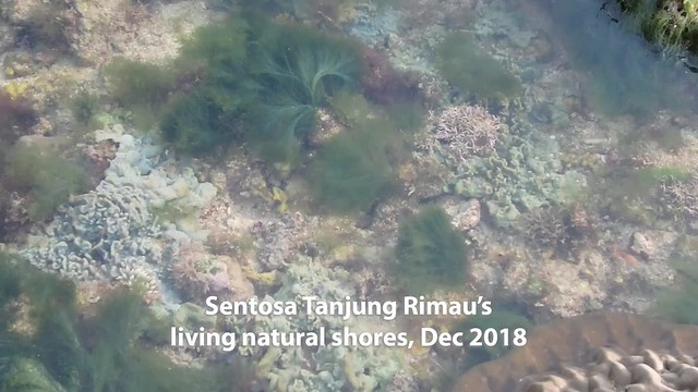 Living shores of Sentosa Tanjung Rimau, Dec 2018