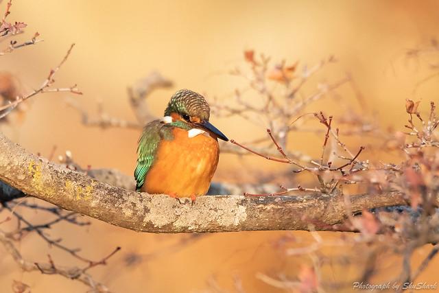 20190224-kingfisher-DSC_1693