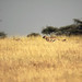 Young cheetah hunting Thomon's gazelle, Piaya Serengeti