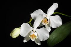 [Gattaran Cagayan, Philippines] Phalaenopsis aphrodite 'Gattaran' Rchb.f., Hamburger Garten- Blumenzeitung 18: 35 (1862)