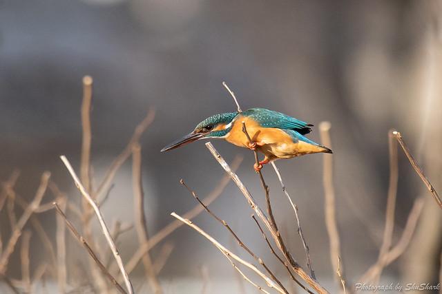 20190223-kingfisher-DSC_1623