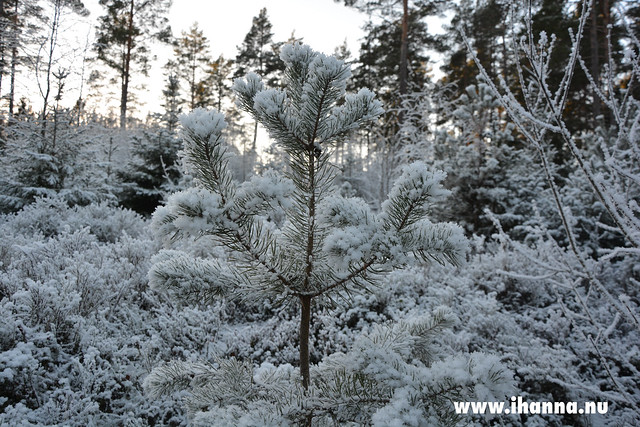 Frost Pine (Photo copyright Hanna Andersson)