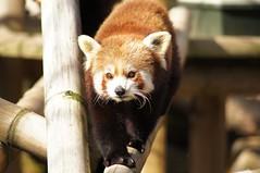 Panda roux du Népal (Ailurus fulgens fulgens)