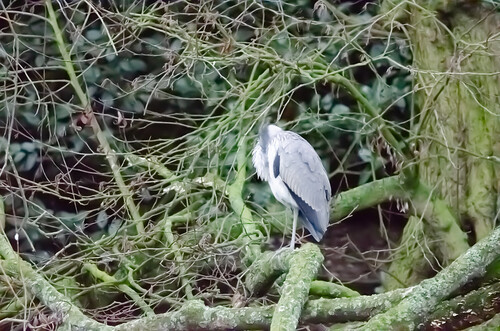Two herons exchanging glances, West Park