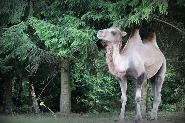 A Camel in the, Canon EOS 1300D, EF-S55-250mm f/4-5.6 IS STM