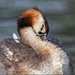 Grebe with youngling by Evelakes67