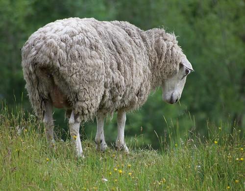 ...I see you too.    Smile On Saturday theme:  Sheep